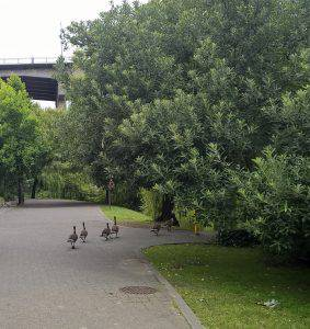 bike back leading to Granville Island with geese walking toward the island